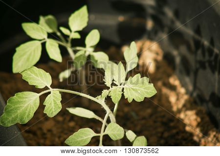 Grape tomato plant cultivated in pots at home