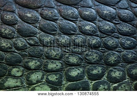 Gharial (Gavialis gangeticus), also knows as the gavial. Skin texture. Wildlife animal.