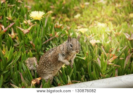 California Ground Squirrel standing on hind legs in La Jolla Cove San Diego