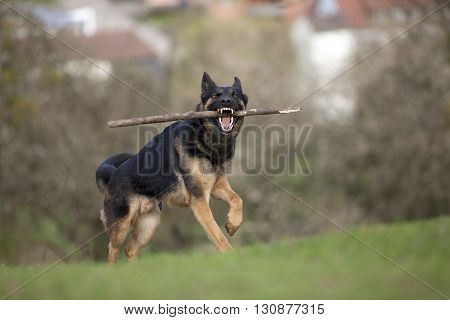 german shepherd dog play and bring back branch