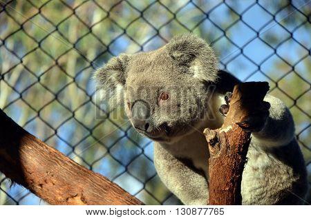 Australian Koala in captivity leaning out on a tree branch