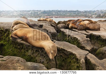 Sea Lions sleeping on rocky beach in San Diego California in La Jolla Cove