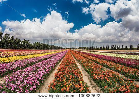 Huge field of garden buttercups growing bright stripes. Spring flowering buttercups. Israeli kibbutz in the south