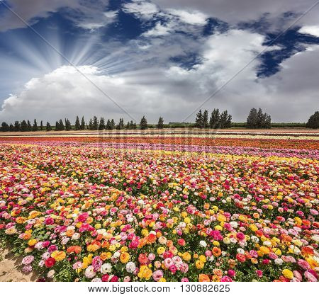 Flower kibbutz near the Gaza Strip. The sun's rays shine from cumulus clouds