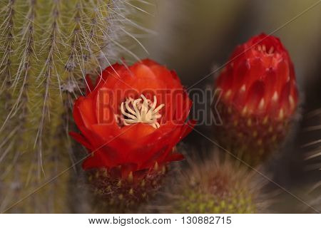 Red orange flower blooms on Trichocereus grandiflorus cactus in the desert.