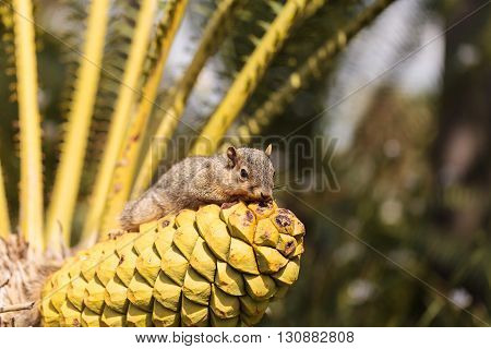 Squirrel rests on a palm tree in Southern California in Spring.
