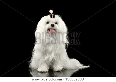 Portrait of Smiling White Maltese Dog Sitting with tie Looking in Camera isolated on Black background