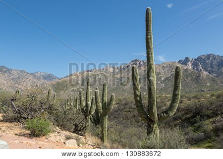 Saguaro cacti line the hills of Tucson's Catalina State Park