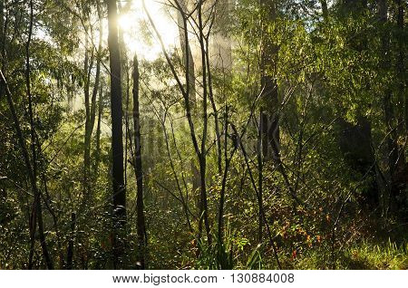 Light filtering through a misty rain soaked forest