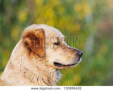 Labrador Retriever dog outdoor portrait over blurry green background