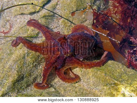 Red octopus, Octopus rubescens, creeps through shallow water near Malibu, California.