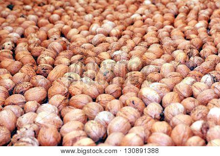 lovely ripe walnuts in gathering the harvest season