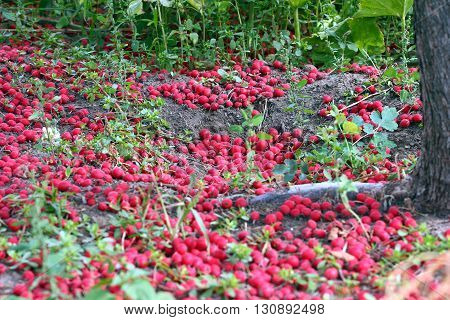 ripe hawthorn berries on the ground in the garden
