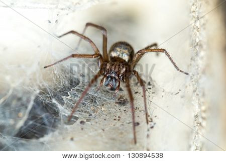 Spider In The Liocranidae Family On Web