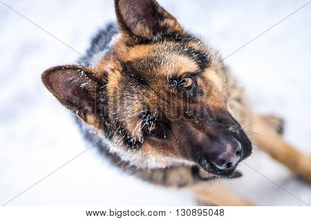 German Shepherd sitting in the cold and sad looking. On the eyebrows frost