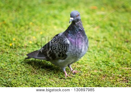 Beautiful pigeon bird standing on grass