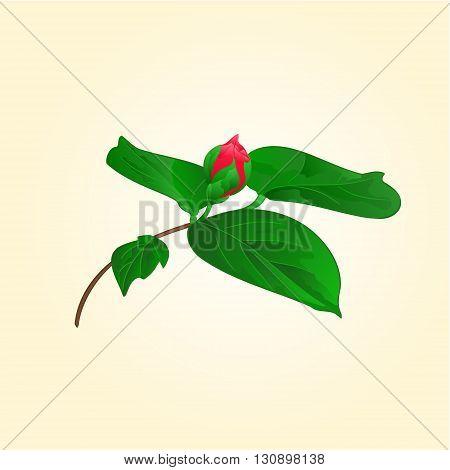 Flower Camellia japonica flower bud vector illustration