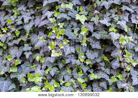 background of fresh green and dark Ivy leaves