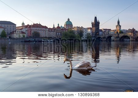 swan on the river in early morning old town of Prague