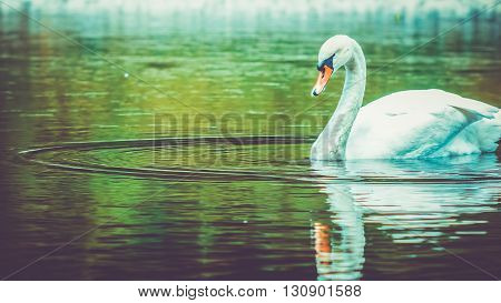 single white swan cleanes his feather, plumage, swiming in dark water with beautiful lake reflection
