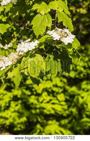 Viburnum Sargentii.