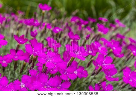 Dianthus Gratianopolitanus Vill..