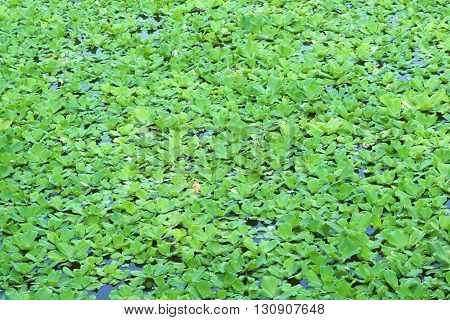 Green Duckweeds Water Plant