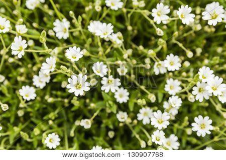 Cerastium Alpinum L..