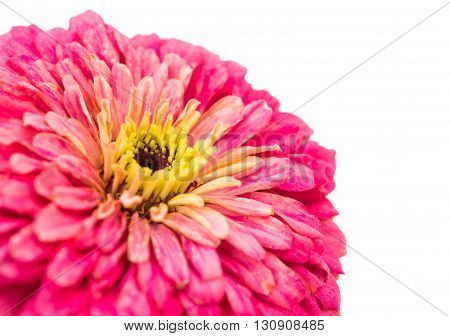 Blossoming Pink Zinnia Elegans Isolated on White Background