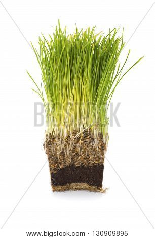 Green Grass Is Grown In A Pot In Cross Section..