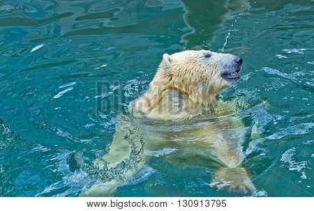 Polar bear swimming and playing in water