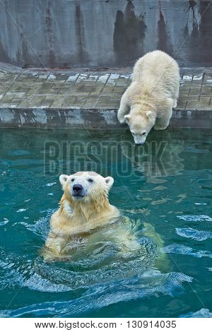 large polar bear in the water and bear cub try jump to water