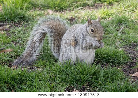 gray squirrels eating Hard on the green grass