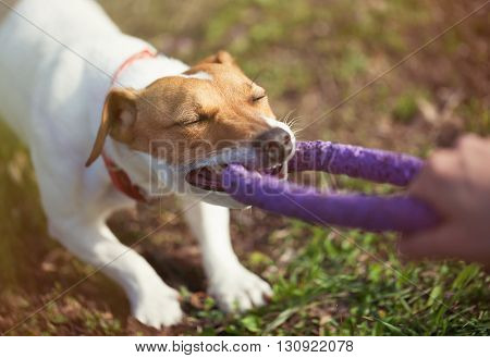 Jack Russell Terrier Dog Playing With Puller Toy