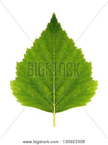 Green leaf birch (symmetrical) on a white background isolated with clipping path. Nature. Closeup with no shadows. Macro.