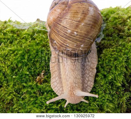Domestic snail can be seen in every garden especially after rain.