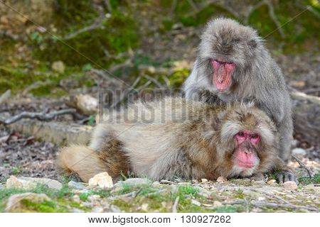 Japanese macaque monkeys engaged in social grooming