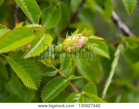 Wild rose flower Rose hips bud. Bud blooming rose hips