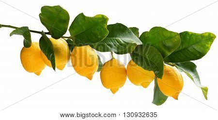 Big branch of lemon tree with lemons isolated on white background. Collage.