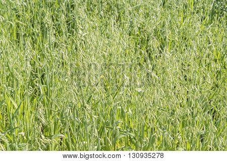 Unripe Oat harvest green field under de sun