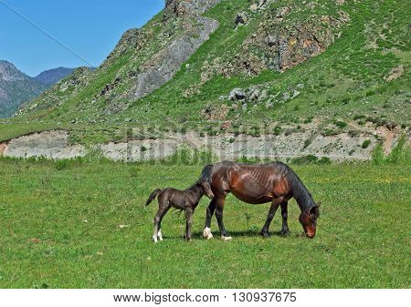 Wild horses: a mare and a newborn foal walk in mountain
