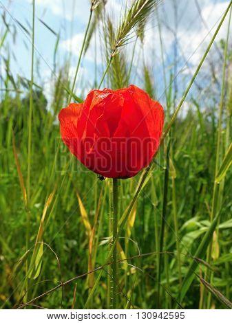 Poppy on the meadow in spring. Wild poppy on the field.