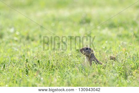 prairie dog on field in spring time