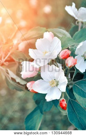 Apple flowers in spring blossom lit by soft sunlight- natural spring floral background with apple tree in the spring garden.