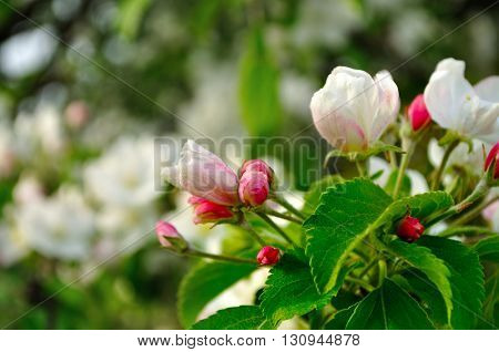 Apple flowers in spring blossom under soft sunlight- spring floral background with apple tree in the spring garden. Selective focus at the central buds.