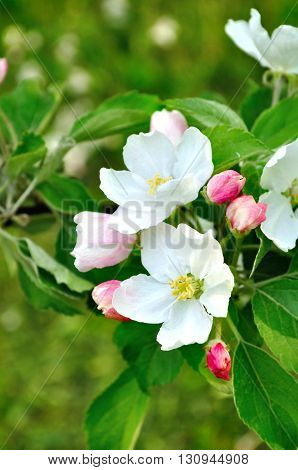 Closeup of apple flowers in spring blossom - spring floral background with apple tree in the spring garden. Selective focus at the central buds.