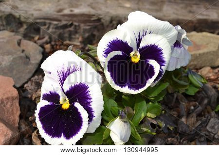 miriam violet blue white flower blossom garden