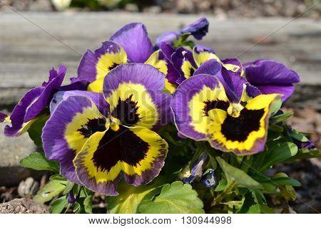 miriam violet yellow blue garden flower blossom plant