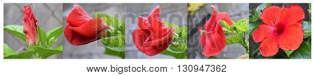 Five stages of growth red hibiscus flower