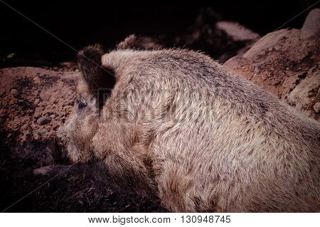 An adult wild boar resting in the mud